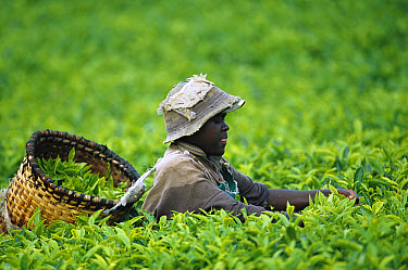 Worker harvesting tea leaves, Rwanda  -  Cyril Ruoso