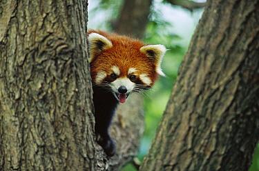 Lesser Panda (Ailurus fulgens) portrait in tree, China  -  Cyril Ruoso