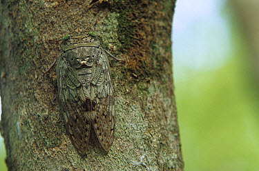 Cicada (Yanga sp) camouflaged against the bark of a tree, southern Madagascar  -  Cyril Ruoso