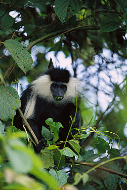 Angolan Colobus (Colobus angolensis) portrait in tree feeding on leaves, Rwanda  -  Cyril Ruoso