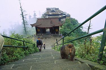 Tibetan Macaque (Macaca thibetana) looking for food from the pilgrims, Emei Mountain, Sichuan, China  -  Cyril Ruoso