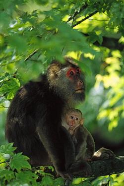 Tibetan Macaque (Macaca thibetana) female nursing her infant, Emei Mountain, Sichuan, China  -  Cyril Ruoso