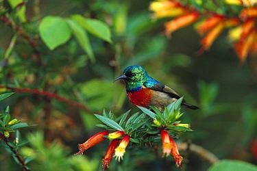 Montane Double-collared Sunbird (Nectarinia ludovicensis) perching, Rwanda  -  Cyril Ruoso