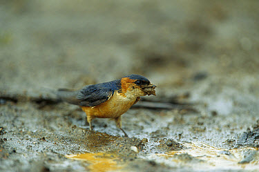 Red-rumped Swallow (Cecropis daurica) collecting mud to build a nest, Rwanda  -  Cyril Ruoso