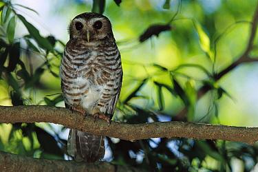 White-browed Hawk Owl (Ninox superciliaris) perching, Bealoka Reserve, southern Madagascar  -  Cyril Ruoso