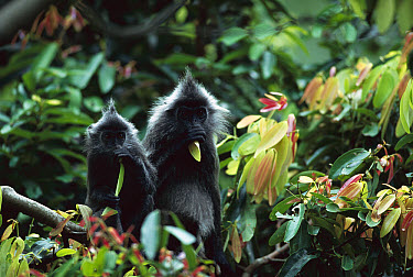 Silvered Leaf Monkey (Trachypithecus cristatus) adult and baby in tree eating leaves, Kuala Selangor Reserve, Malaysia  -  Cyril Ruoso