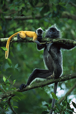 Silvered Leaf Monkey (Trachypithecus cristatus) adult female and baby, young are born orange and become grey, Kuala Selangor Reserve, Malaysia  -  Cyril Ruoso