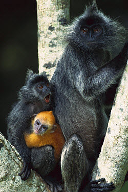 Silvered Leaf Monkey (Trachypithecus cristatus) female and her two young in a tree, young are born orange and become grey, Kuala Selangor Reserve, Malaysia  -  Cyril Ruoso