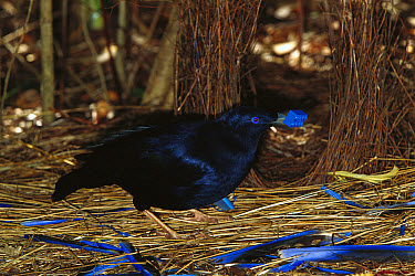 Satin Bowerbird (Ptilonorhynchus violaceus) male displaying blue objects near the bower to attract the female, Blue Mountains, Australia  -  Cyril Ruoso