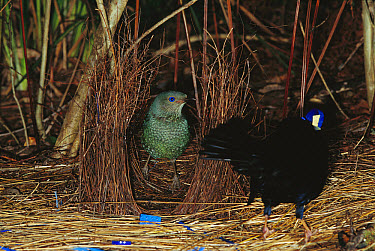 Satin Bowerbird (Ptilonorhynchus violaceus) female attracted to a male displaying blue objects near the bower, Blue Mountains, Australia  -  Cyril Ruoso