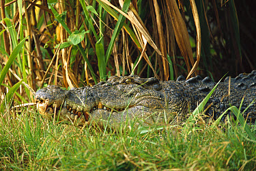 Saltwater Crocodile (Crocodylus porosus) crouching in grass, Northern Territory, Australia  -  Cyril Ruoso