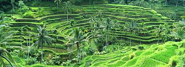 Rice (Oryza sativa) field in the Ubud area, Bali, Indonesia  -  Cyril Ruoso