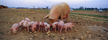 Domestic Pig (Sus scrofa domesticus) sow with young at free range pig breeding facility in France  -  Cyril Ruoso