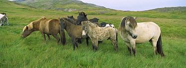 Domestic Horse (Equus caballus) herd grazing in pasture, northeast Iceland  -  Cyril Ruoso