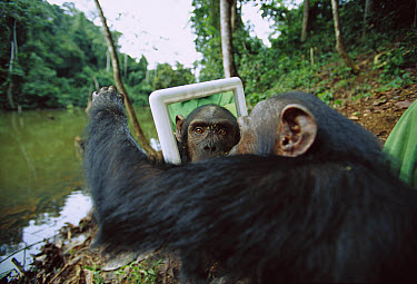Chimpanzee (Pan troglodytes) female trying to touch behind the mirror, Gabon  -  Cyril Ruoso