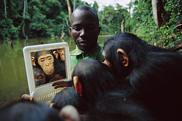 Chimpanzee (Pan troglodytes) group looking at themselves in a mirror held by a keeper, Gabon  -  Cyril Ruoso
