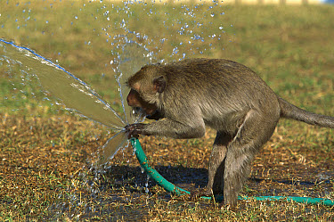 Long-tailed Macaque (Macaca fascicularis) drinking from a hose, Thailand  -  Cyril Ruoso