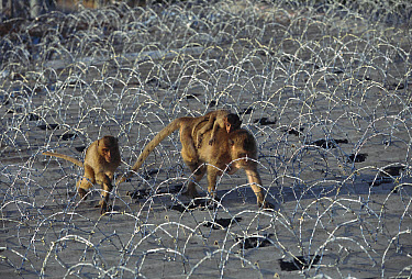 Long-tailed Macaque (Macaca fascicularis) mother with two young walking among barbed wire, Thailand  -  Cyril Ruoso