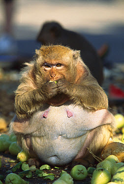Long-tailed Macaque (Macaca fascicularis) gorging on fruit left by humans has become obese, Thailand  -  Cyril Ruoso