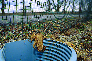 European Toad (Bufo bufo) entering an underground tunnel which acts as a wildlife corridor during autumn migration to breeding pools, Europe  -  Cyril Ruoso