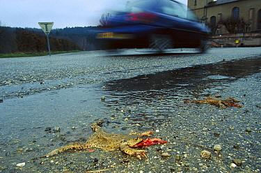 European Toad (Bufo bufo) killed during autumn migration to breeding pools, Europe  -  Cyril Ruoso