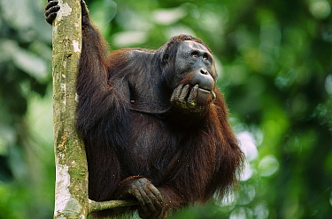 Orangutan (Pongo pygmaeus) adult sitting in tree holding his head in his hand, Kalimantan, Indonesia