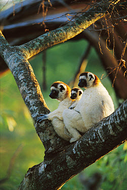 Sifaka (Propithecus sp) family resting in tree, threatened, Berenty Reserve, Madagascar  -  Cyril Ruoso