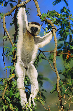 Sifaka (Propithecus sp) adult male hanging from tree branches, threatened, Madagascar  -  Cyril Ruoso