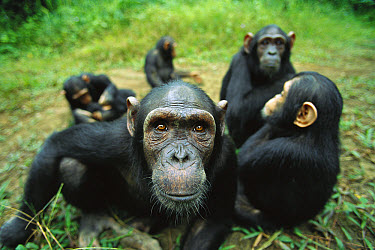 Chimpanzee (Pan troglodytes) female looking into the camera curiously, Gabon  -  Cyril Ruoso
