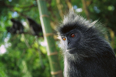 Silvered Leaf Monkey (Trachypithecus cristatus) adult portrait in tree, Kuala Selangor Reserve, Malaysia  -  Cyril Ruoso