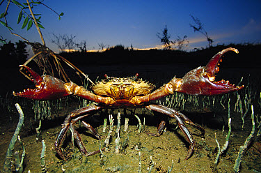 Giant Mud Crab (Scylla serrata) with claws spread wide in defensive posture, Mahakam Delta, Indonesia  -  Cyril Ruoso