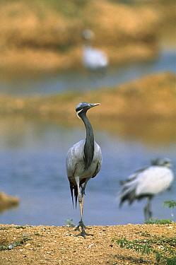 Demoiselle Crane (Anthropoides virgo) walking along stream, Grand Desert, Rajasthan  -  Cyril Ruoso