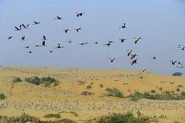 Demoiselle Crane (Anthropoides virgo) flock flying during migration, Grand Desert, Rajasthan, India  -  Cyril Ruoso