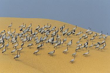 Demoiselle Crane (Anthropoides virgo) flock on sand dune, Grand Desert, Rajasthan, India  -  Cyril Ruoso