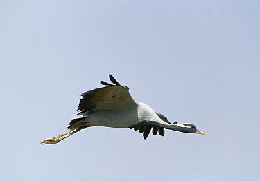 Demoiselle Crane (Anthropoides virgo) flying, Grand Desert, Rajasthan, India  -  Cyril Ruoso