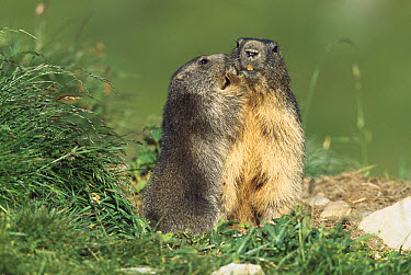 Alpine Marmot (Marmota marmota) adults allogrooming, looks like one whispering in the other's ear, France  -  Cyril Ruoso