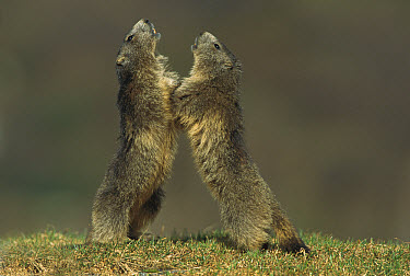 Alpine Marmot (Marmota marmota) two adults fighting for territory, France  -  Cyril Ruoso