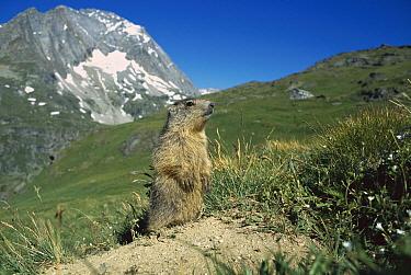 Alpine Marmot (Marmota marmota) portrait of a juvenile in alpine habitat, France  -  Cyril Ruoso
