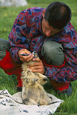Alpine Marmot (Marmota marmota) adult having its teeth measured by a researcher, France  -  Cyril Ruoso