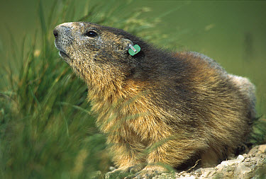 Alpine Marmot (Marmota marmota) adult with a research tag in its ear, France  -  Cyril Ruoso