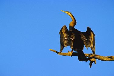American Darter (Anhinga anhinga) sunbathing, Australia  -  Cyril Ruoso