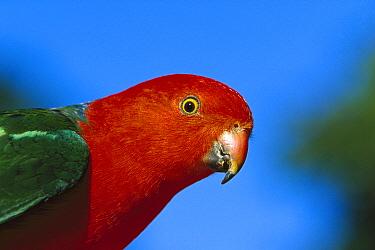 Australian King Parrot (Alisterus scapularis) portrait, Australia  -  Cyril Ruoso