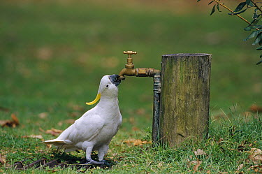 Sulphur-crested Cockatoo (Cacatua galerita) drinking water from a spigot, Australia  -  Cyril Ruoso