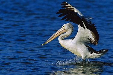 Australian Pelican (Pelecanus conspicillatus) landing, Australia  -  Cyril Ruoso