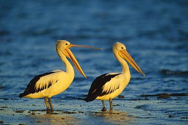 Australian Pelican (Pelecanus conspicillatus) pair standing in shallow water, Sydney, Australia  -  Cyril Ruoso