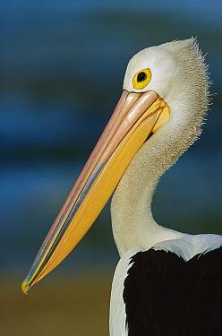 Australian Pelican (Pelecanus conspicillatus) portrait, Australia  -  Cyril Ruoso