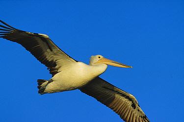 Australian Pelican (Pelecanus conspicillatus) flying, Australia  -  Cyril Ruoso