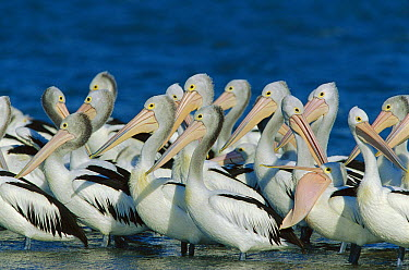 Australian Pelican (Pelecanus conspicillatus) flock in shallow water, Coorong National Park, Australia  -  Cyril Ruoso