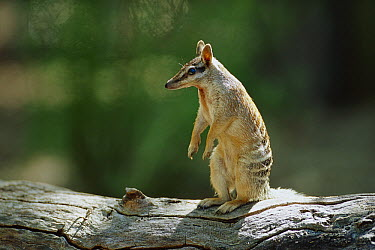 Numbat (Myrmecobius fasciatus) alert adult sitting upright on a log, Australia  -  Cyril Ruoso