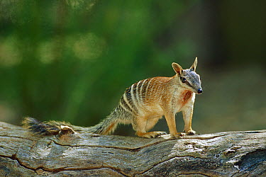 Numbat (Myrmecobius fasciatus) alert adult on log, Australia  -  Cyril Ruoso